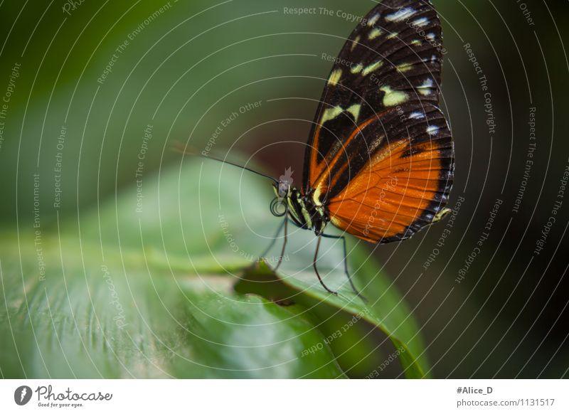 Majestäten der Natur elegant Umwelt Pflanze Tier Frühling Sommer Blatt exotisch Wildtier Schmetterling Fluginsekt Insekt Naturwunder 1 grün orange