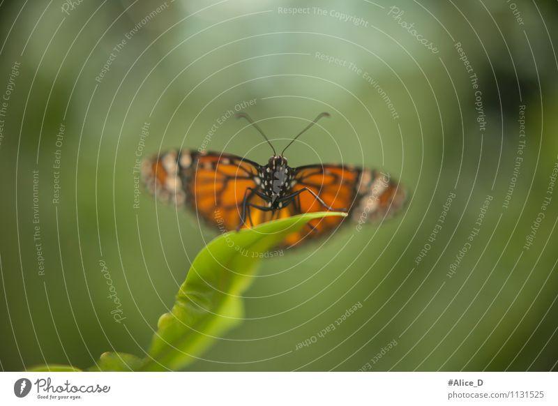 Tagfalter Natur Pflanze schön grün Sommer Blatt Tier schwarz Umwelt Frühling natürlich außergewöhnlich Garten fliegen orange Sträucher