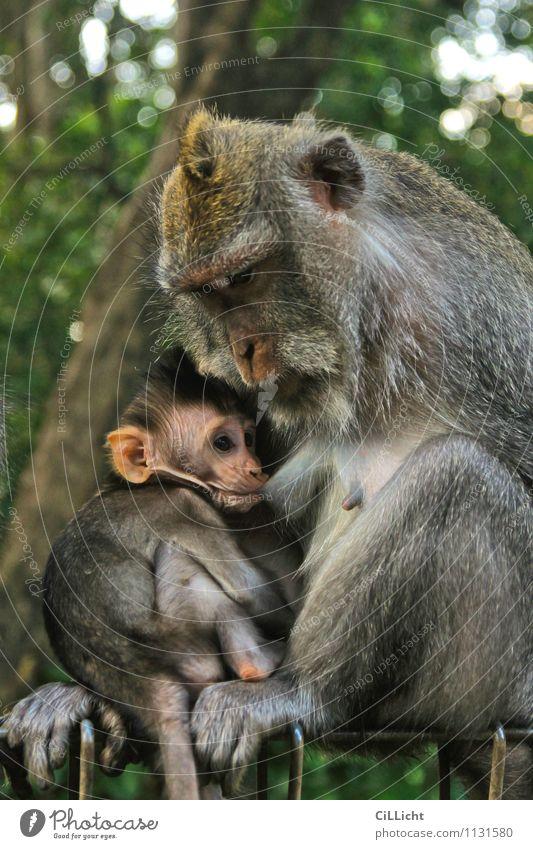 Mahlzeit Baby Mutter Erwachsene Natur Wildtier Tiergesicht Affen 2 Tierfamilie trinken braun grau grün Vertrauen Geborgenheit Tierliebe Verantwortung Fürsorge