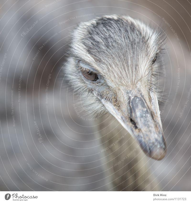 Strauß Tier Nutztier Wildtier Vogel Tiergesicht Flügel Zoo 1 grau Umweltschutz Ausflug Natur beobachten Kopf Auge Tourismus Attraktion Ernährung Tierporträt