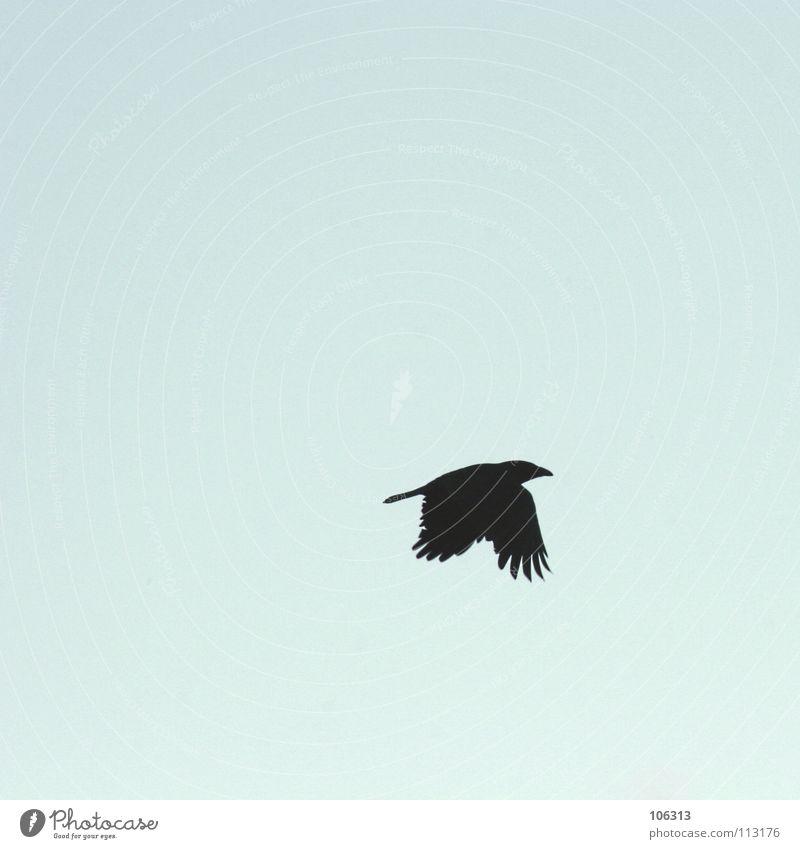 FOR BABAK Vogel Rabenvögel Krähe schwarz Aerodynamik sehr wenige Freiraum gleiten Flügel streben Schnabel Ausbruch Flucht Tier Federvieh Luft Schwerelosigkeit