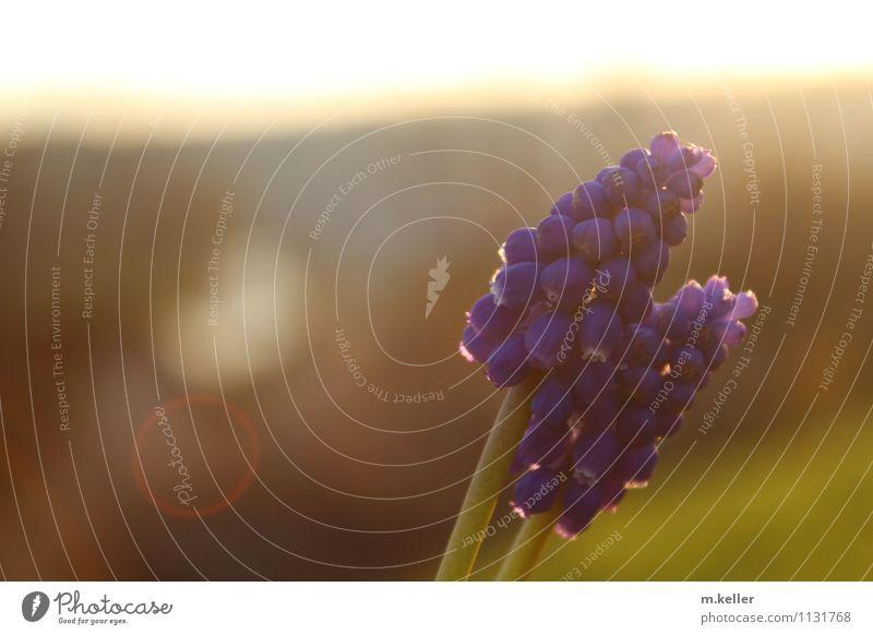 frühling Pflanze schön Freude Liebe Stimmung Freundschaft Schönes Wetter Romantik Frieden Genauigkeit Knollengewächse Traubenhyazinthe