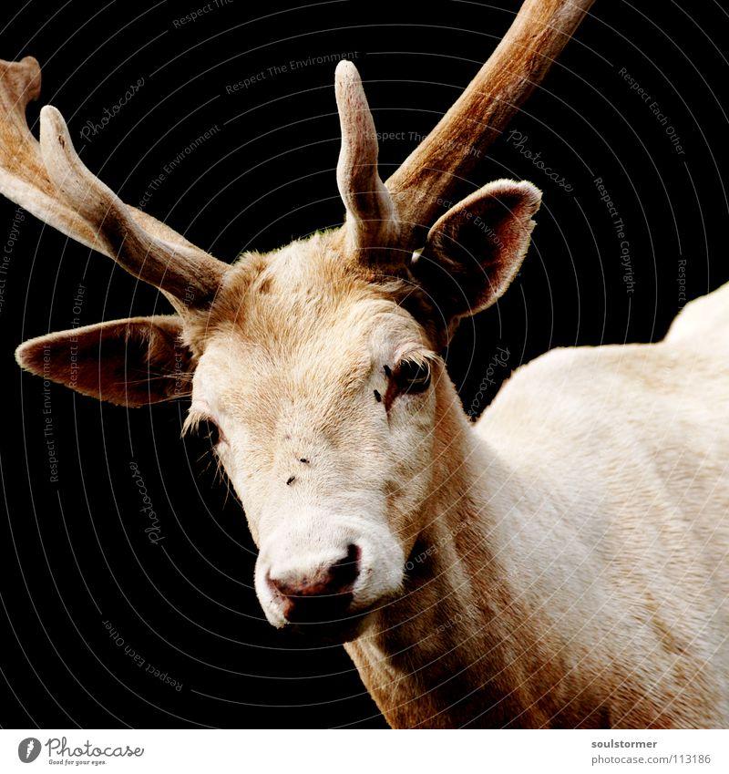 weiß vor schwarz Hirsche dunkel Tier Säugetier Horn Wildpark bräunlich Trauer Einsamkeit Rentier weißhirsch Wildtier dammwild hell Kontrast Blick schnautze Mund
