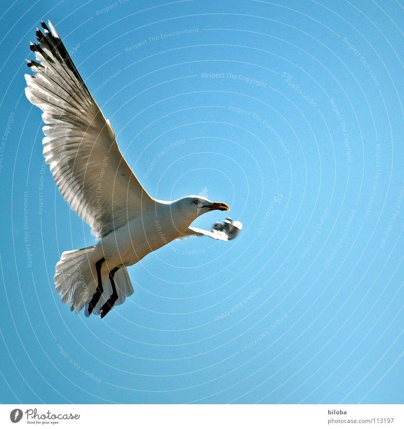 Schau mal wer hier fliegt ;-) Möwe weiß schwarz Meeresvogel Vogel Tier Federvieh Unendlichkeit schön stahlblau tief Außenaufnahme Möve Möven elegant Seevogel