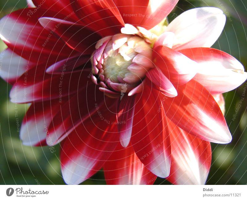 Blüte Blume rot Blütenknospen Dahlien