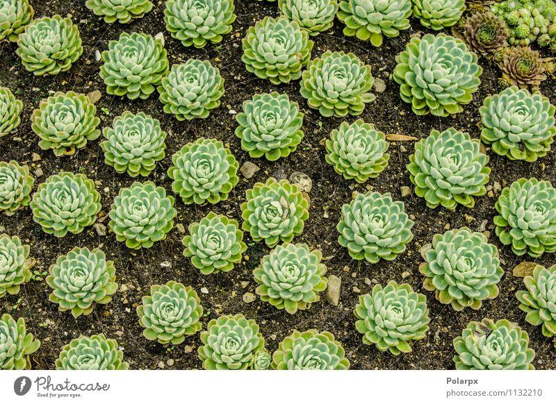 Sempervivum Pflanzen auf einem Feld Kräuter & Gewürze schön Haus Garten Dekoration & Verzierung Gartenarbeit Natur Erde Blume Kaktus Blatt Blüte Wachstum frisch