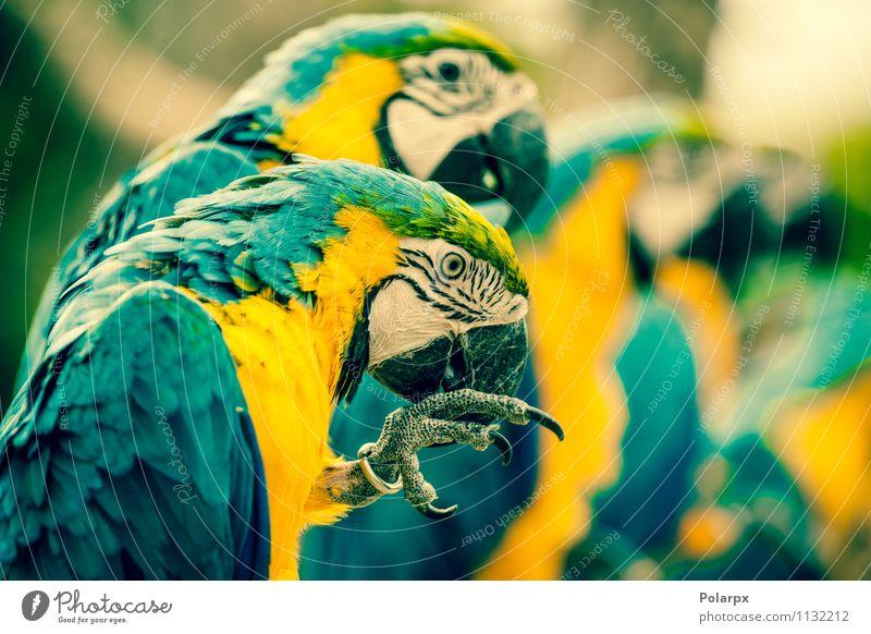 Makawalpapageien in einer Reihe exotisch schön Sommer Zoo Natur Tier Haustier Vogel Flügel sitzen hell wild blau gelb grün Farbe Kratzen farbenfroh tropisch