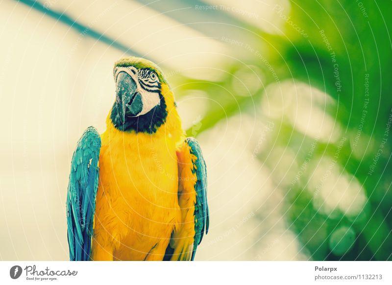 Papagei in schönen Farben exotisch Meer Kunst Zoo Natur Tier Klima Urwald Haustier Vogel niedlich wild blau gelb grün Schnabel Ara farbenfroh gold Tierwelt