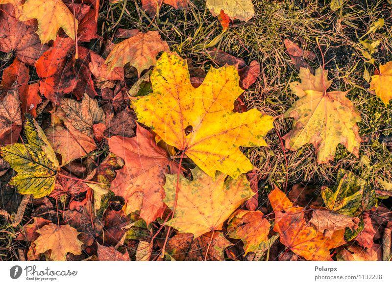 Herbstblätter in warmen Farben schön Garten Umwelt Natur Landschaft Pflanze Baum Blatt Park Wald Ornament hell natürlich braun gelb gold grün rot Stapel Ahorn