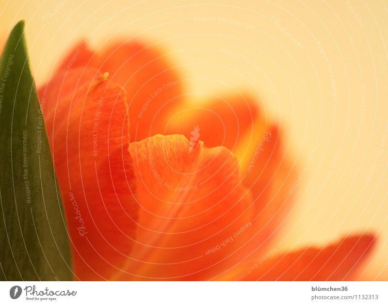Das war der Frühling! Natur Pflanze Blume Blüte Tulpe Tulpenblüte Blütenblatt Frühlingsblume Frühlingsgefühle Blühend frisch natürlich grün orange Romantik