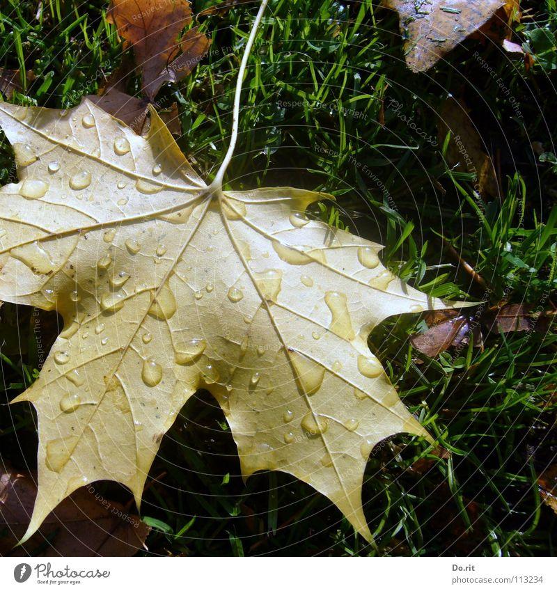 Tränen im November Blatt Ahorn Ahornblatt braun gelb grün Wassertropfen Regen kalt Abschied Herbst Herbstlaub Gras Rasen Gefäße Schatten Vergänglichkeit Trauer
