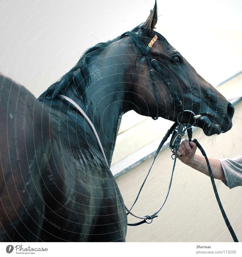 renntag schön Tier Kraft Arme nass Geschwindigkeit Erfolg Pferd festhalten Müdigkeit feucht führen tierisch Blut Ackerbau