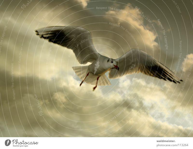 Möwe Lachmöwe Wolken Vogel Meer Strand Möve Himmel Luftverkehr fliegen