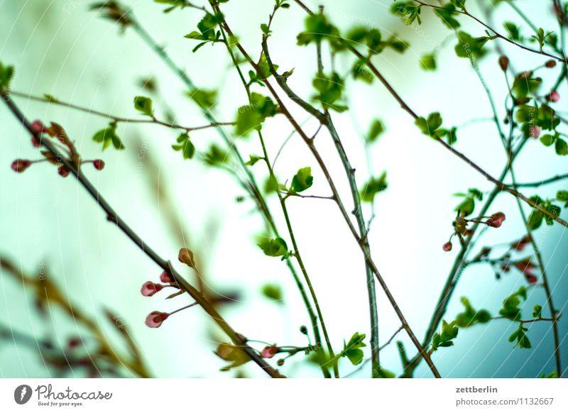 Strauch Sträucher Ast Zweig Blatt Frühling Schwache Tiefenschärfe Unschärfe Blühend Blume Blüte Blütenknospen Blattknospe Pflanze Vase Häusliches Leben Stimmung