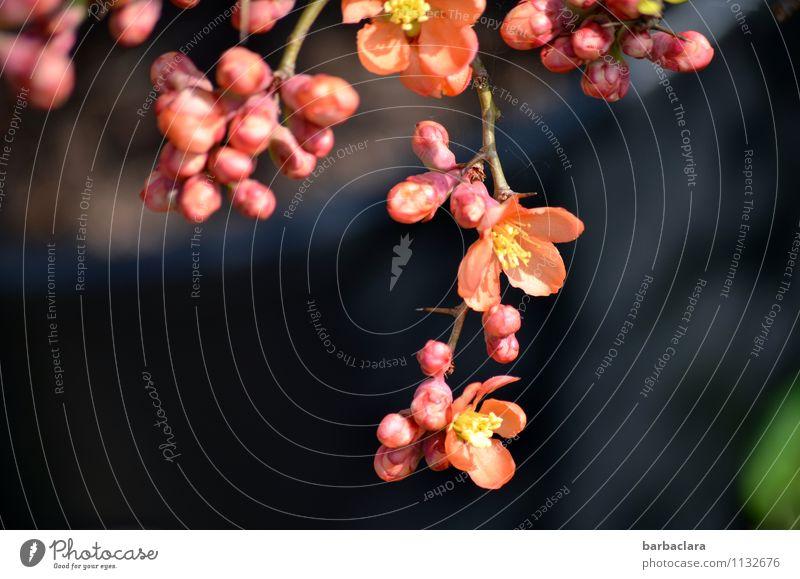 Zierquittenblüte Natur Pflanze Frühling Sträucher Blüte Scheinquitte Quittenblüte Garten Blühend orange rosa Stimmung Frühlingsgefühle Vorfreude Romantik