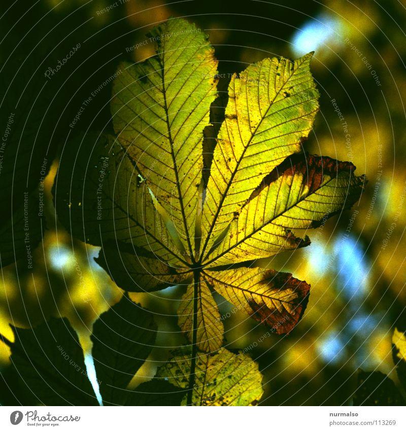 Guter Morgen XI alt Blatt Herbst braun Beleuchtung fallen Ast fein Gefäße Skelett Baugerüst Herbstlaub Kastanienbaum färben Motte