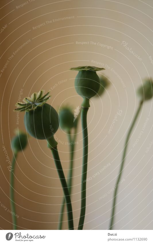 Mohnstangen Pflanze grün Mohnkapsel Klatschmohn verblüht Samen mehrere Stengel Dekoration & Verzierung Farbfoto Gedeckte Farben Innenaufnahme Menschenleer