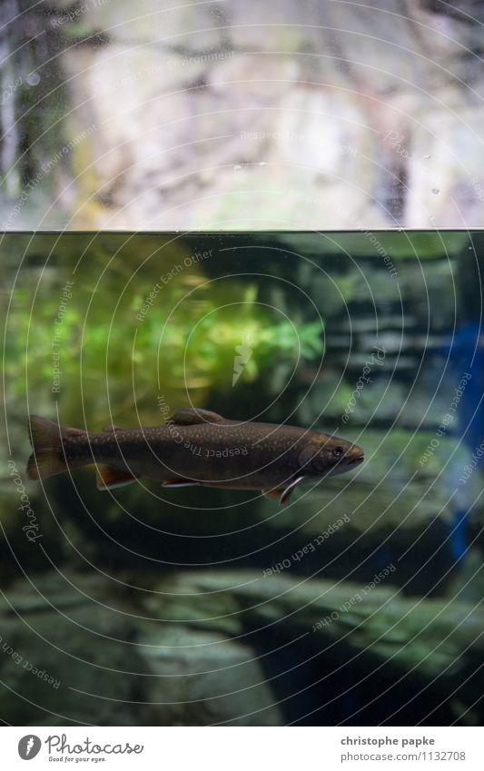 Stille Fische sind nass Umwelt Natur Wasser See Bach Fluss Tier Wildtier Aquarium Forelle 1 Schwimmen & Baden Unterwasseraufnahme Schuppen Farbfoto