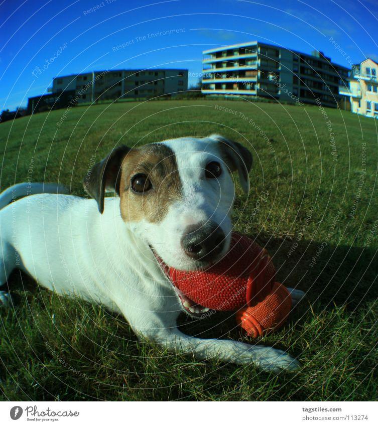 MEIN BLOCK Hund blau weiß grün Spielen braun Aktion Ball werfen Säugetier Block beweglich Ballsport Terrier Russell