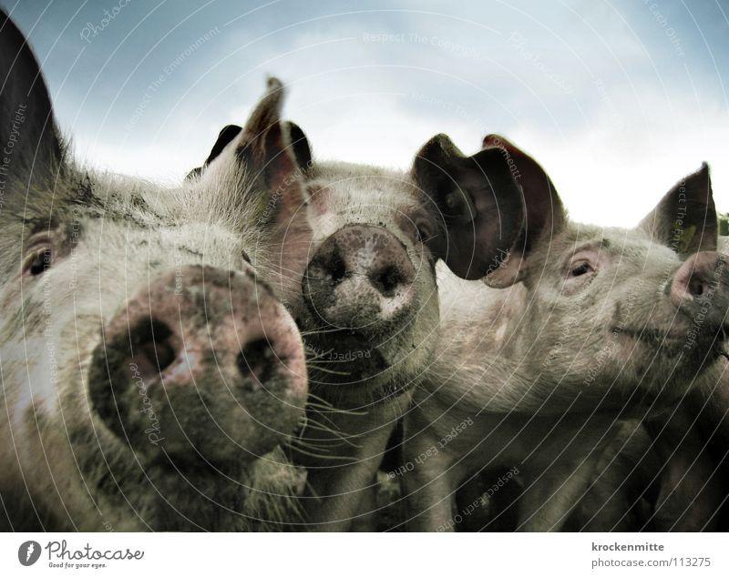 Drei Schweine vom Grill Tier Glück Zufriedenheit dreckig 3 Hausschwein Ohr Bauernhof Landwirtschaft Säugetier Schwein Schnauze Barthaare Sau Ferkel Stall