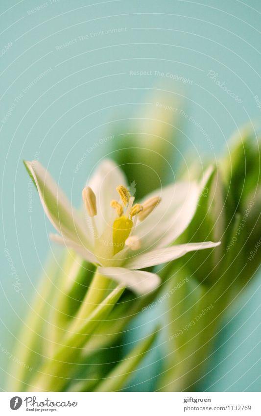frühlingsbote Natur Pflanze Frühling Blume Blatt Blüte Blühend elegant frisch schön gelb grün weiß Glück Lebensfreude Frühlingsgefühle Beginn Stempel