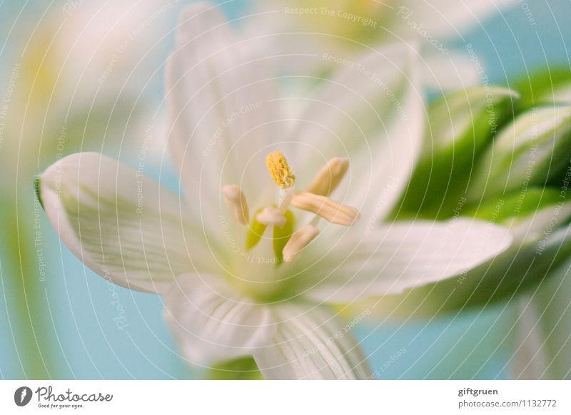 frühblüher Natur Pflanze Frühling Blume Blüte Blühend Blütenknospen Blütenblatt Frühblüher Blütenstempel Pollen Pflanzenteile weiß frisch Lebensmittel