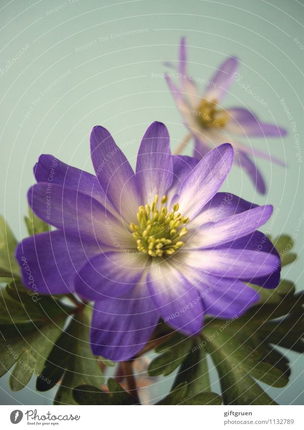spring celebrity Natur Pflanze schön Blume Blatt Blüte Frühling leuchten paarweise Beginn Blühend Jahreszeiten violett Blütenblatt Stempel Neuanfang