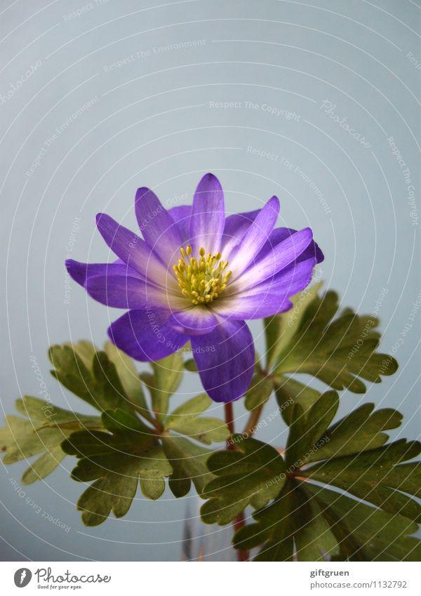 bienenfutter Natur Pflanze Frühling Blume Blühend schön zart frisch klein Blüte Pflanzenteile Blütenstempel Blütenblatt Blatt Blattgrün strahlend Stern (Symbol)