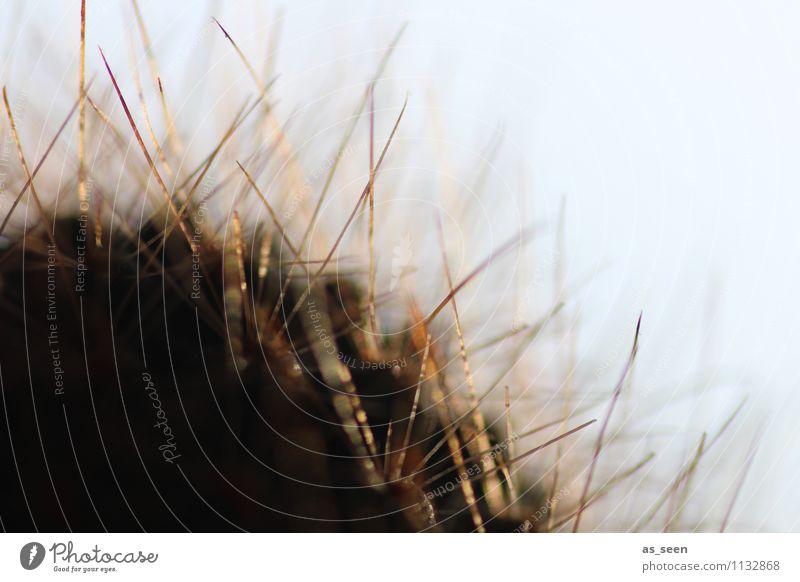 Stachlig Leben harmonisch Umwelt Natur Landschaft Pflanze Frühling Sommer Schönes Wetter Kaktus Blatt Blüte Park Wachstum ästhetisch hell natürlich Spitze