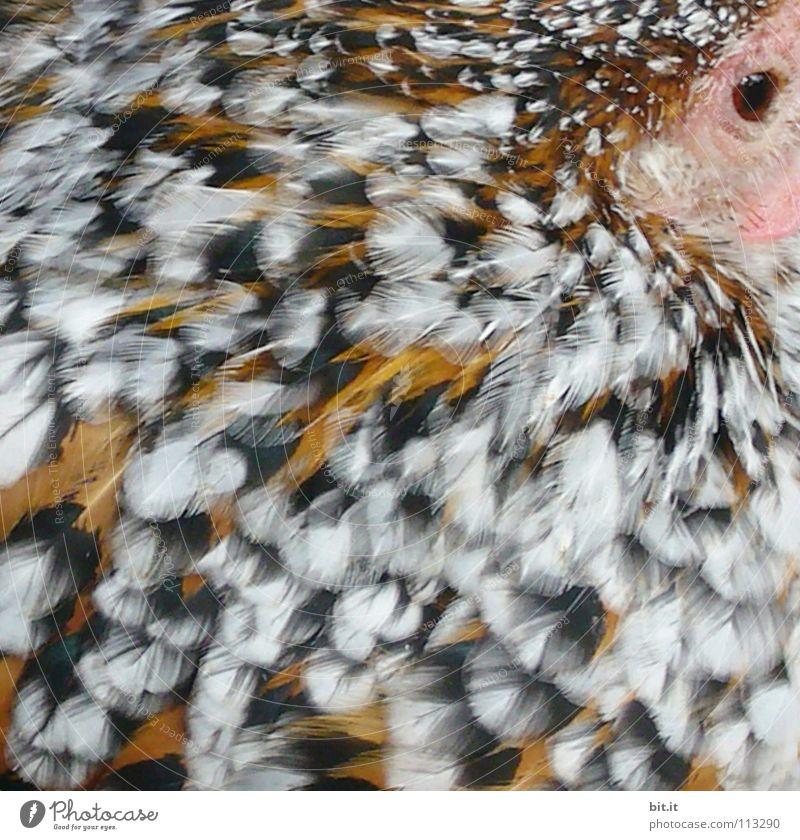 FETTE HENNE Natur Tier ruhig Erholung Auge Vogel fliegen Wildtier Lebensmittel Zufriedenheit frei Luftverkehr Ernährung Feder schlafen Perspektive