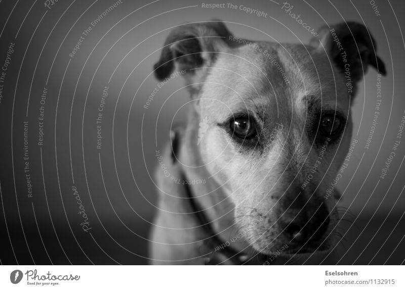 Unsicher Tier Haustier Hund Tiergesicht Fell 1 beobachten Blick niedlich Wachsamkeit ruhig demütig Schüchternheit unsicher Auge Schnauze Schwarzweißfoto