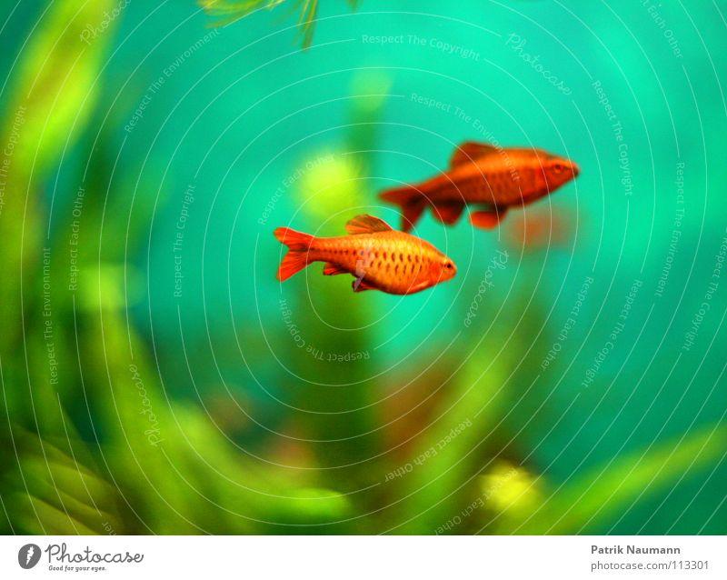 unter Wasser Goldfisch Aquarium Unterwasseraufnahme Algen rot grün Unschärfe Tier Lebewesen Silhouette Pflanze Kraft gesättigt mehrfarbig Fisch Profil Farbe