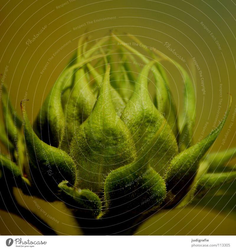 Sonnenblume Natur Blume grün Pflanze Sommer Farbe Blüte Wärme Feld Umwelt frisch Wachstum Physik Sonnenblume Blütenknospen knackig