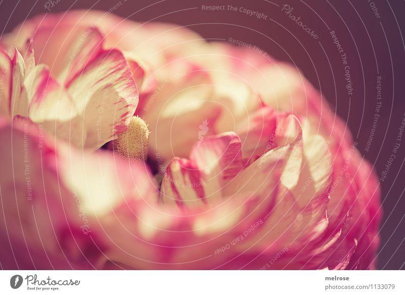* B e a u t y II * Stil Valentinstag Muttertag Geburtstag Natur Frühling Schönes Wetter Blume Blüte Wildpflanze Topfpflanze Ranunkel Blütenstempel pastellfarbig