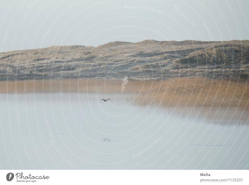 Atmen Umwelt Natur Landschaft Wasser Nebel Gras Schilfrohr Röhricht Küste Seeufer Teich Gewässer Tier Vogel Kormoran 1 fliegen frei natürlich Stimmung Freiheit