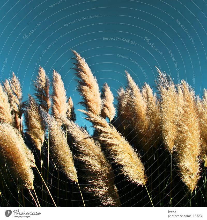 Süßgräser im Wind Himmel blau Sommer Garten Park Wärme weich Physik zart leicht Schönes Wetter sanft Leichtigkeit Rauschen sommerlich