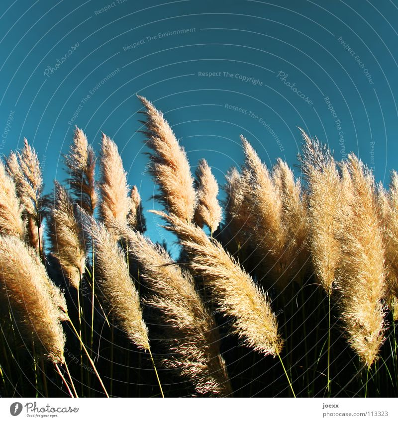 Süßgräser im Wind Himmel blau Sommer Garten Park Wärme Wind weich Physik zart leicht Schönes Wetter sanft Leichtigkeit Rauschen sommerlich