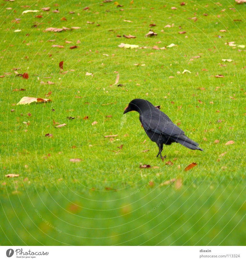Black Bird Farbfoto Außenaufnahme Textfreiraum links Textfreiraum oben Textfreiraum unten Tag Schwache Tiefenschärfe Tierporträt Wegsehen Herbst Gras Blatt