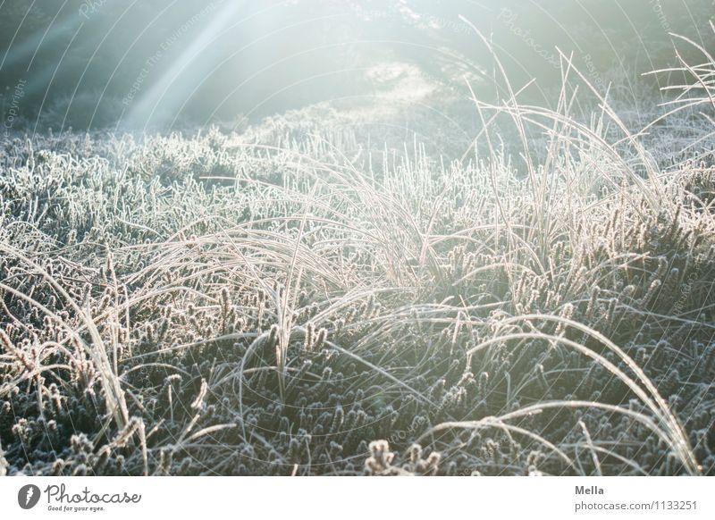 Kalt, kalt, kalt sind alle meine Gräser Umwelt Natur Pflanze Sonne Sonnenaufgang Sonnenuntergang Sonnenlicht Winter Klima Wetter Eis Frost Gras Grünpflanze