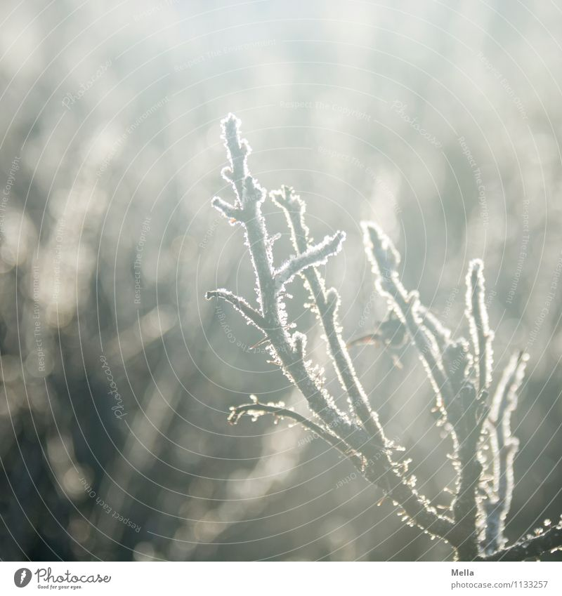Der letzte Frost wird der erste sein Natur Pflanze Winter kalt Umwelt Herbst Frühling natürlich Stimmung hell Eis Klima Wandel & Veränderung nah Zweig