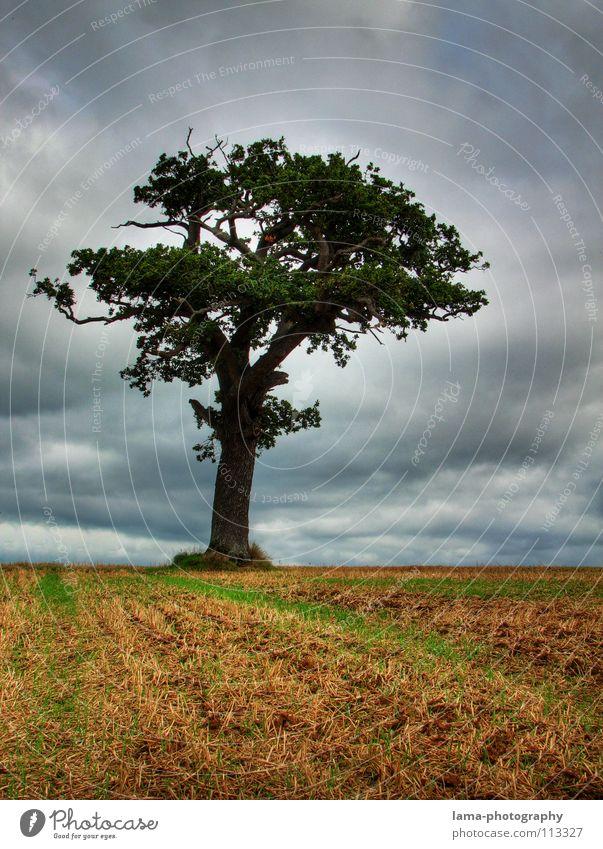Der Baum Ernte Weizen Ähren Feld Kornfeld Gerste Eiche morsch unheimlich gruselig Stimmung Angst unheilvoll Landwirtschaft Bauernhof Herbst Fußweg Wiese