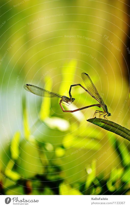 Frühlingsgefühle - Herzliches Liebesspiel Sonne Natur Tier Flügel 2 Tierpaar grün Gefühle Beginn Sex Sexualität Erotik herzlich Libelle Fortpflanzung