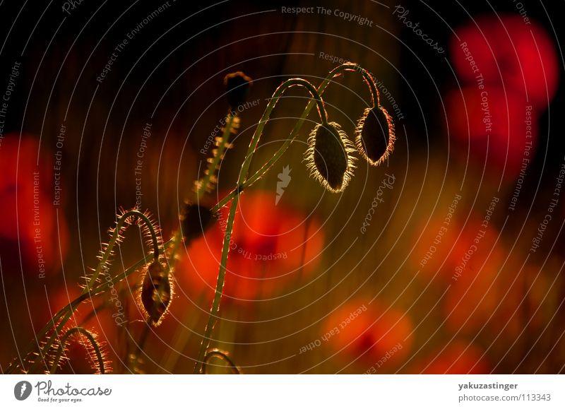 Mohnet rot Sommer schön Blume Pflanze Opium Morphium Faune