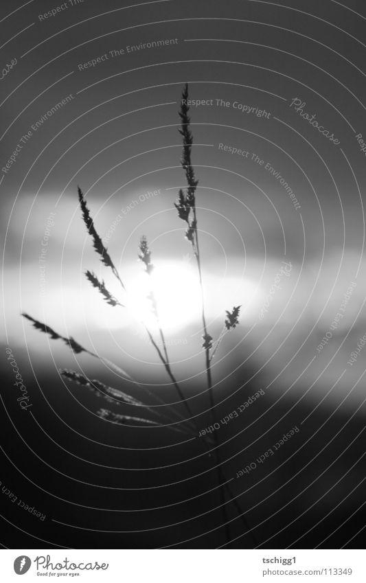Florale Halme gestreift von Horizont küssender Sonne Blume Sonnenuntergang Gras schwarz weiß Wolken Wiese Pflanze Herbst grau fein Himmel Erde