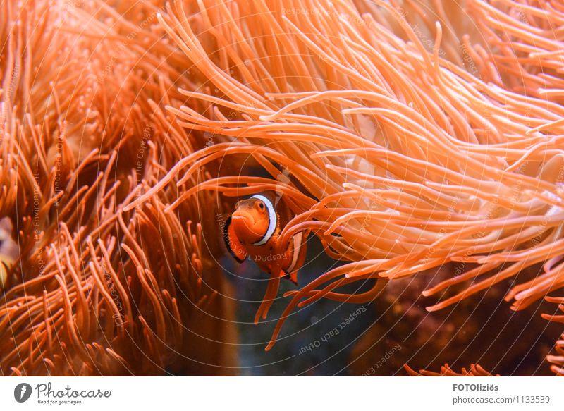 Finding Nemo Tier Wasser Korallenriff Meer Fisch Zoo Aquarium 1 Schwimmen & Baden tauchen Wärme orange rosa rot Stimmung Tapferkeit Sicherheit Schutz