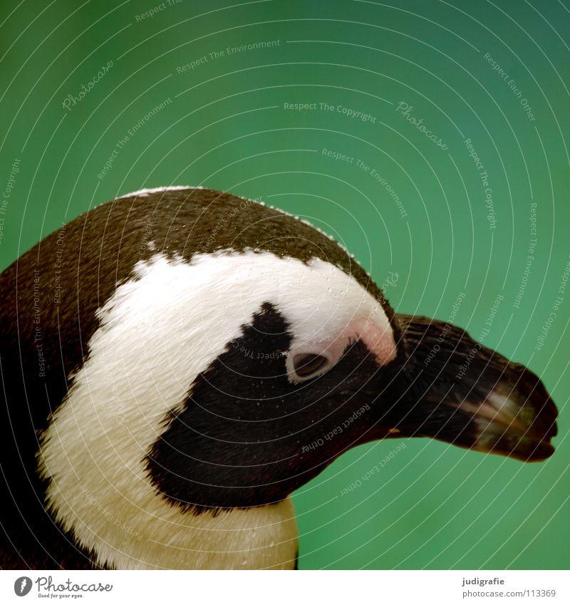 Pinguin schwarz Tier Auge Farbe Vogel nass niedlich Feder Schnabel frontal Brillenpinguin