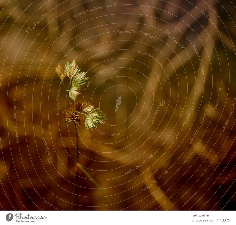 Gras Herbst Einsamkeit gelb Stengel Halm Ähren schön weich Rauschen Wiese zart beweglich sensibel glänzend federartig Farbe gold orange Pollen rispe rispen