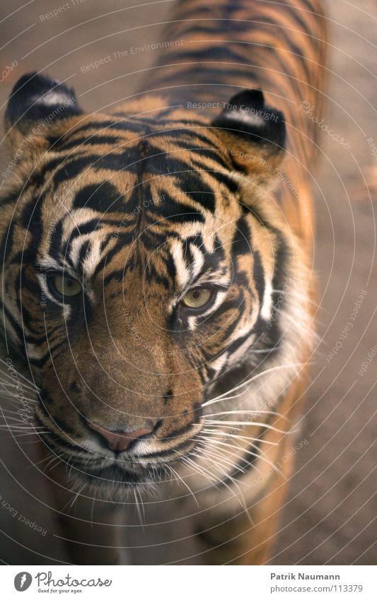 Schmusekater kalt Haare & Frisuren gefährlich bedrohlich Afrika Fell Zoo Jagd Urwald Säugetier gefangen Tiger Justizvollzugsanstalt Steppe Safari Jäger