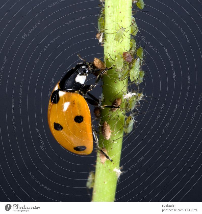 Marienkaefer, Coccinella, semptempunctata Natur grün rot Tier schwarz Garten frei Punkt Insekt Stillleben Fressen Käfer Marienkäfer Schlag Objektfotografie neutral