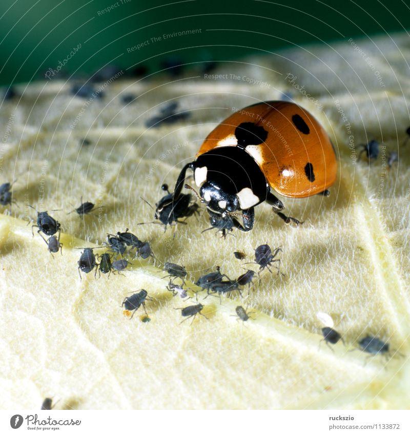 Marienkaefer, Coccinella, semptempunctata Natur Tier Garten Käfer Fressen rot schwarz Marienkäfer Blattlaeusen Blattläuse 7-Punkt Insekt halbkugeliger